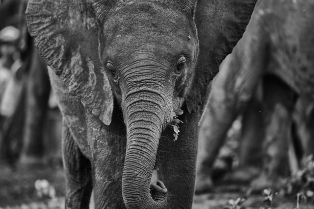 Elephant calf at Orphanage