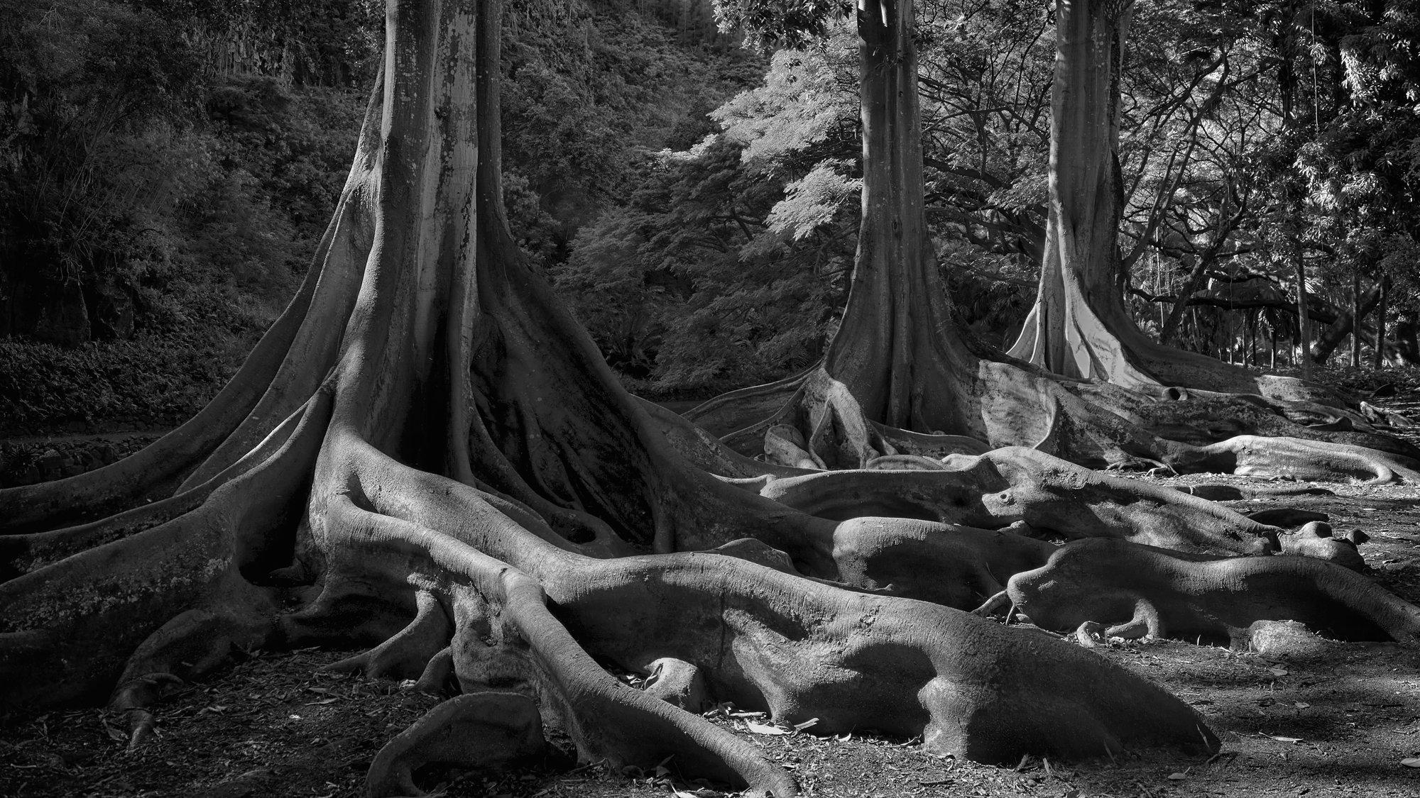 TreeFigB&W.jpg