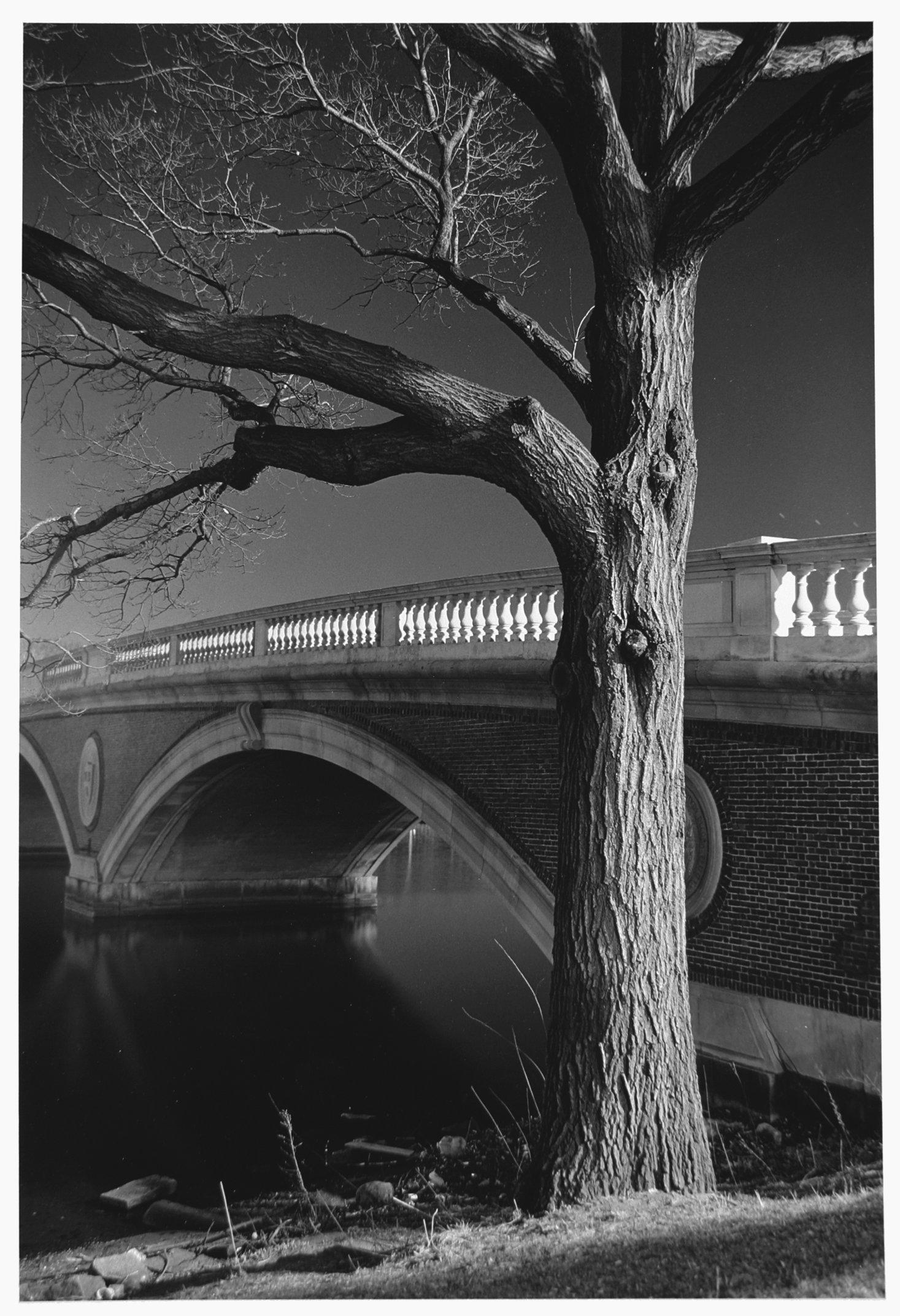 Tree Harvard Bridge.jpg