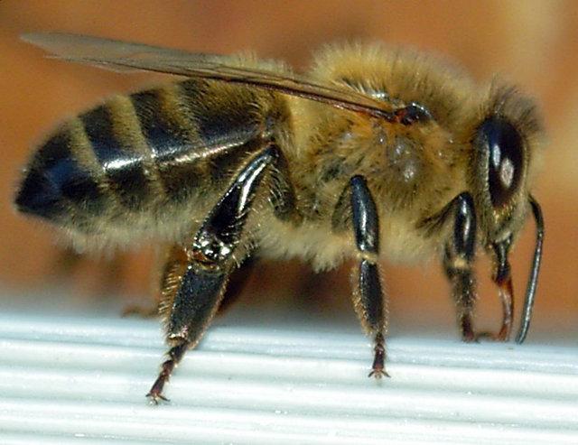 Abeille-bee-profil.jpg