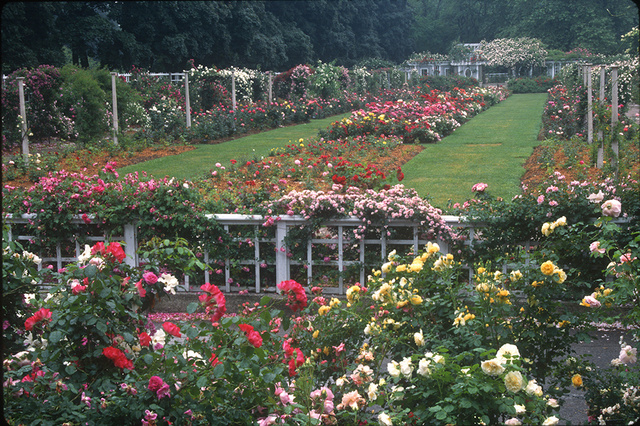Brooklyn Botanic Rose Garden
