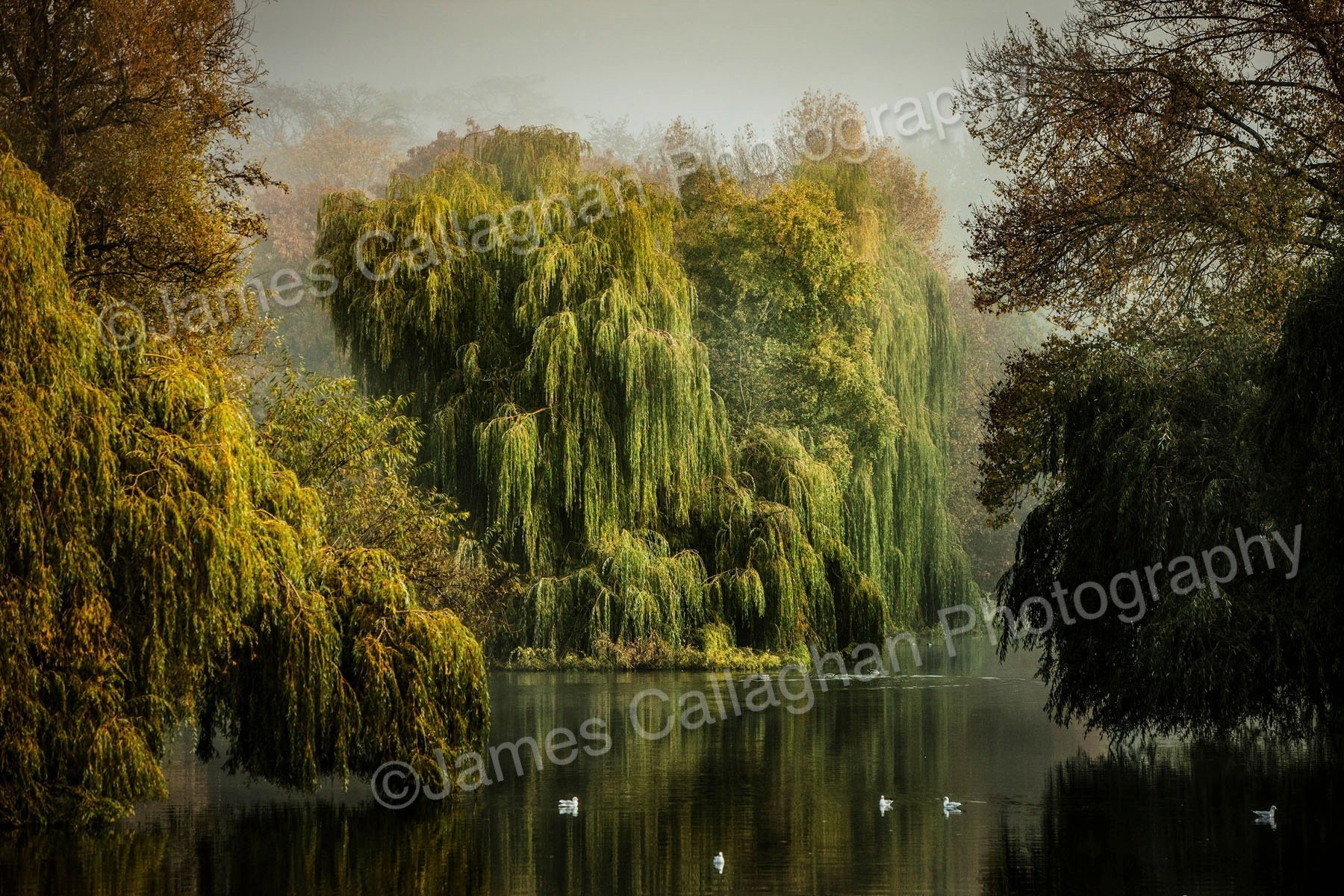 Willows From Mill Bridge Misty.jpg