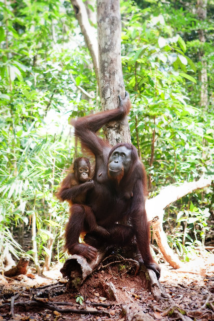 Mom and Baby Orangutans I