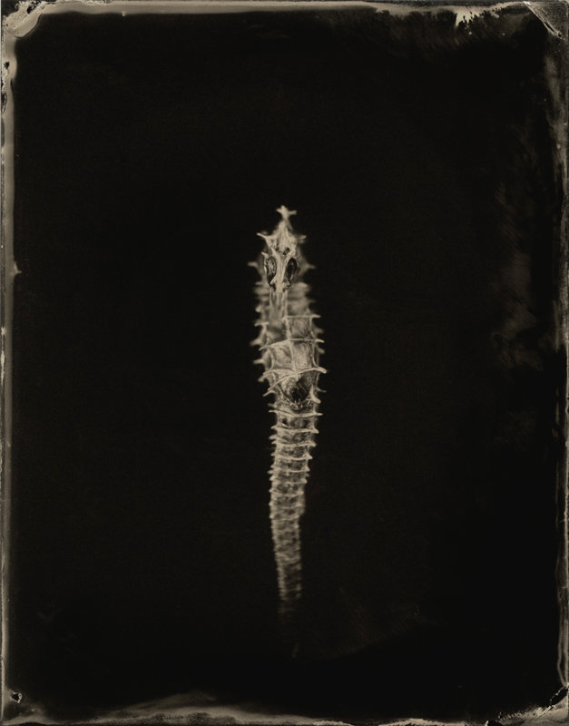 Hippocampus #6