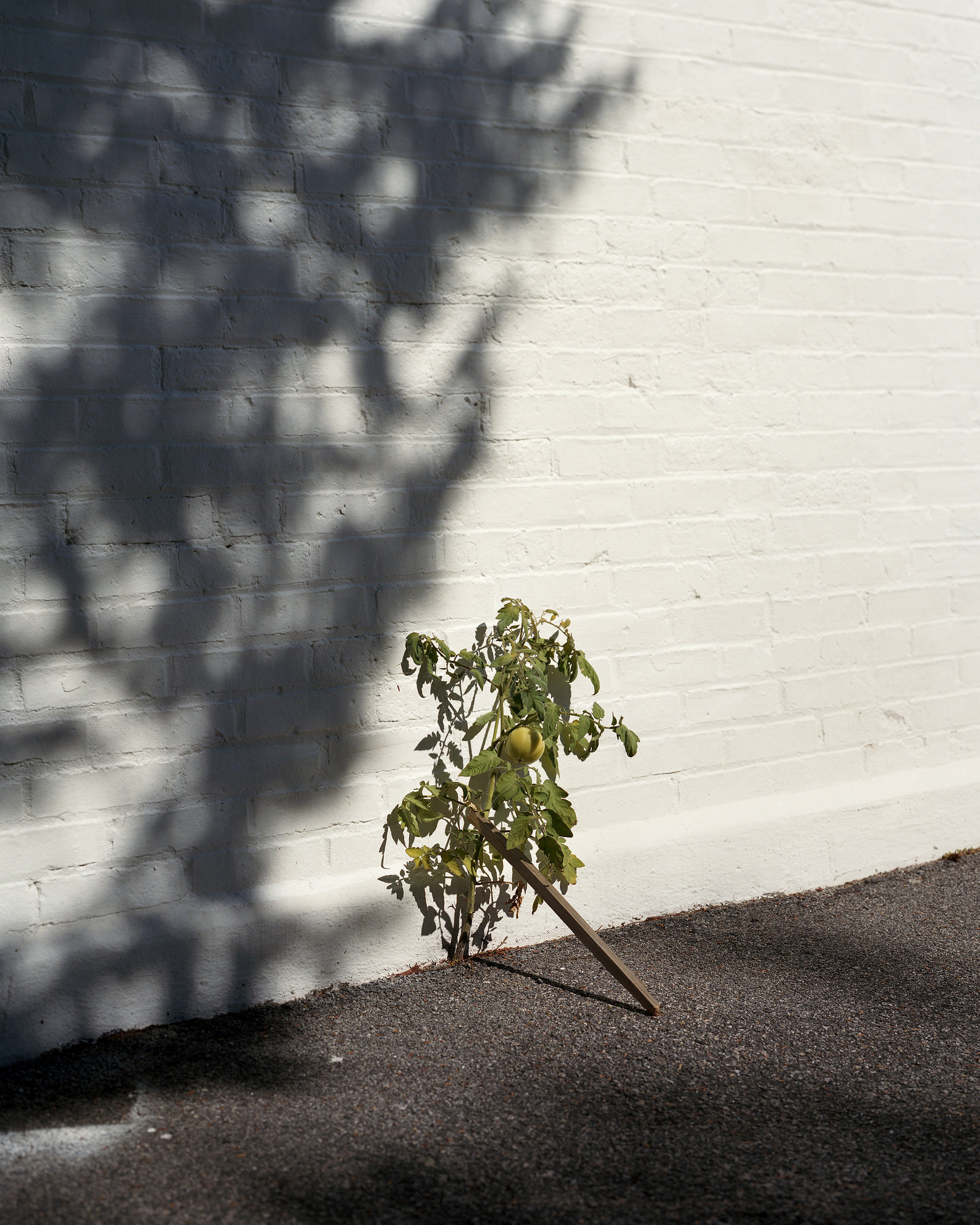untitled (young tomato)