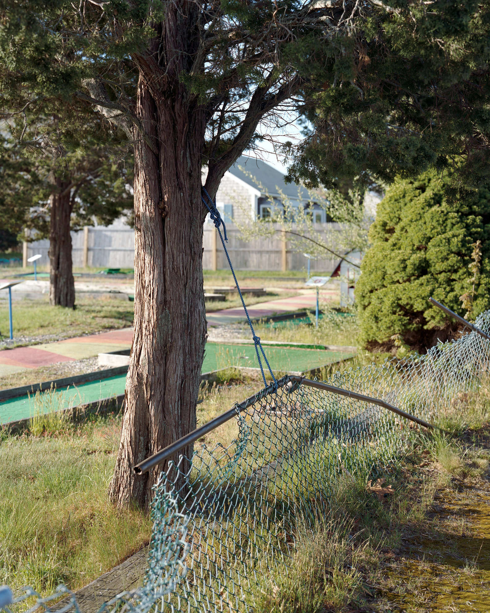 untitled (fence and cedar tree)