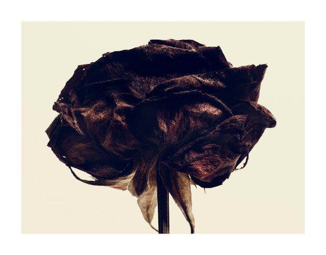 black rose 3jpg.jpg
