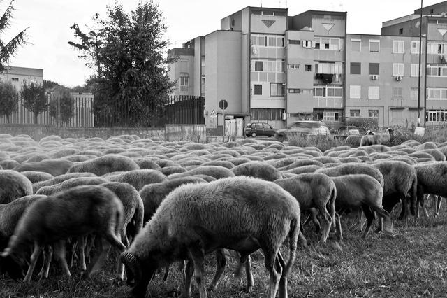 Un gregge di pecore pascola in un terreno adiacente al parco Verde