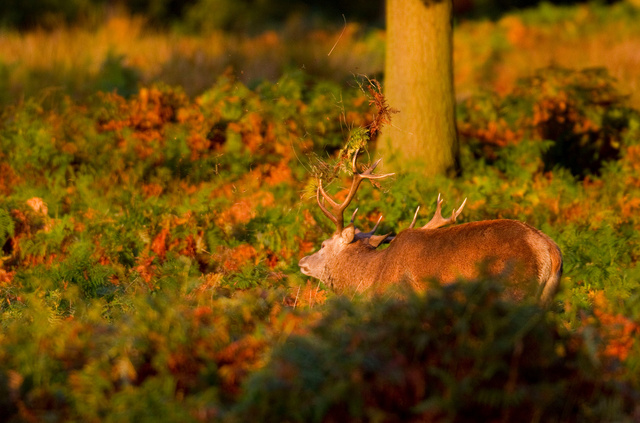 Red Deer Stag thrashing to strengthen neck