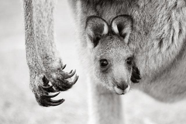 baby-kangaroo-100.jpg