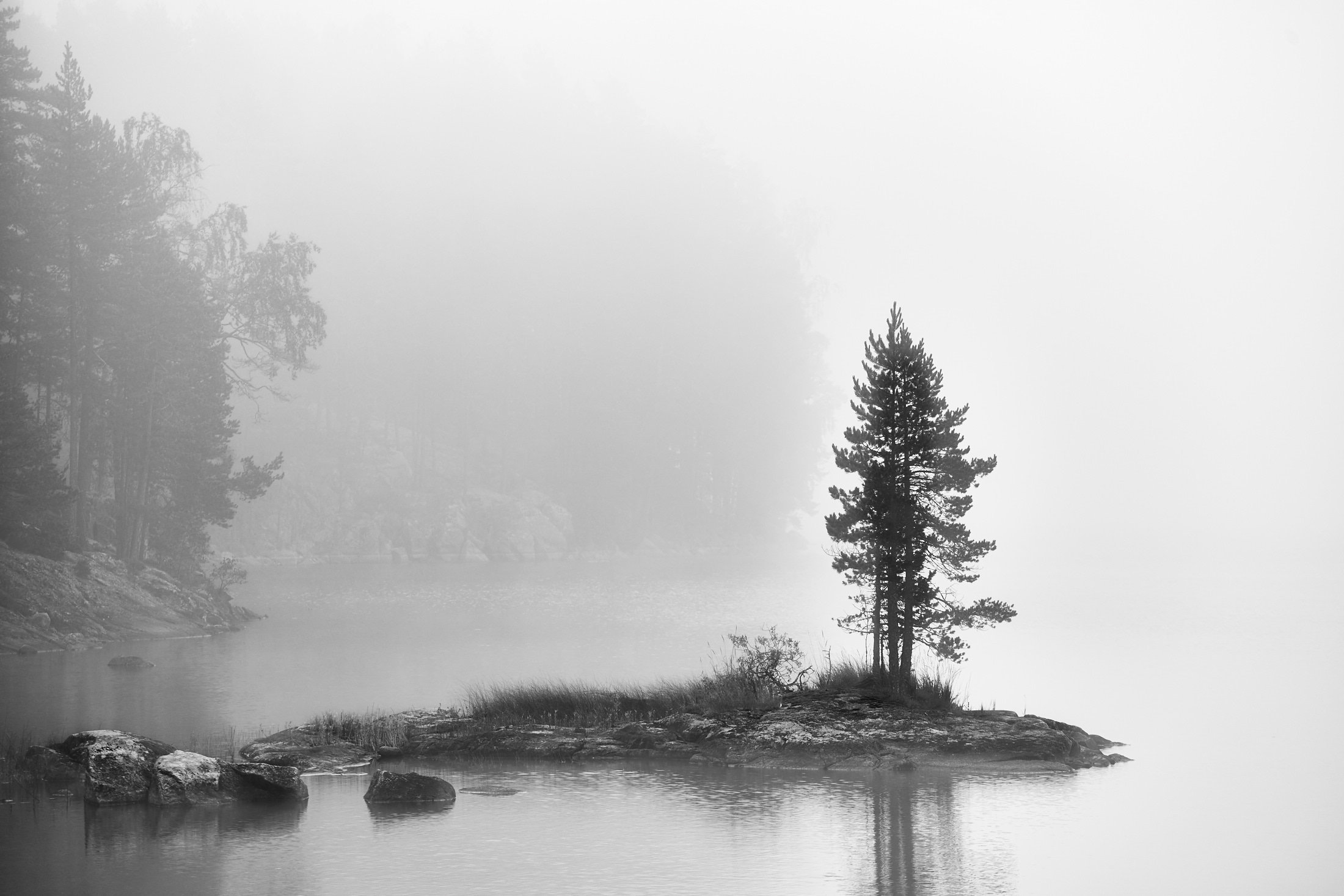 Pukala Pine Tree