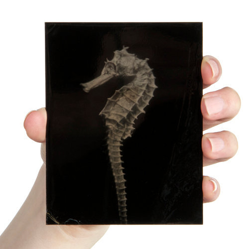 Hippocampus #33