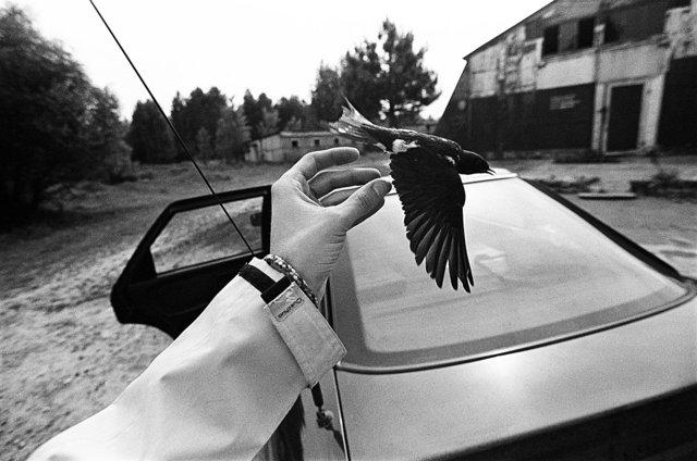 Barn Swallow (Hirundo rustica) II.