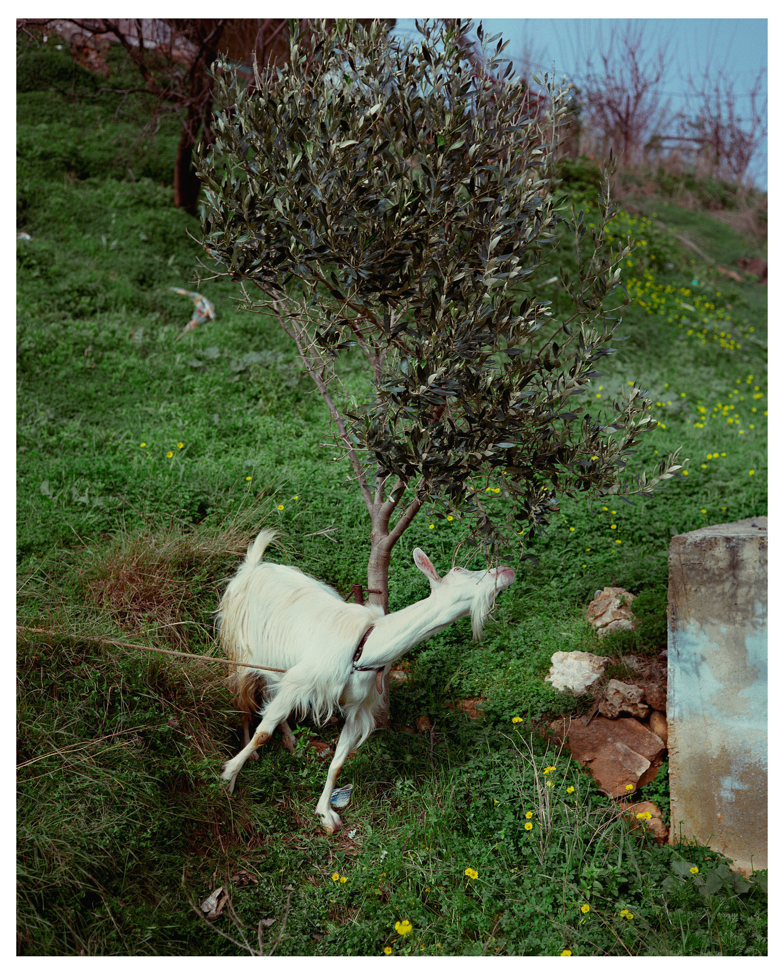 Animal Series Goat Greece.jpg