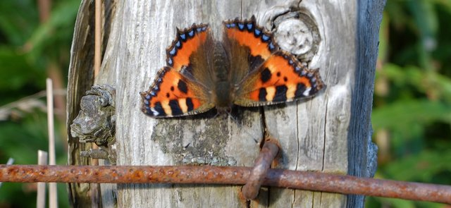 Small Tortoiseshell butterfly close up by Ali Gracie