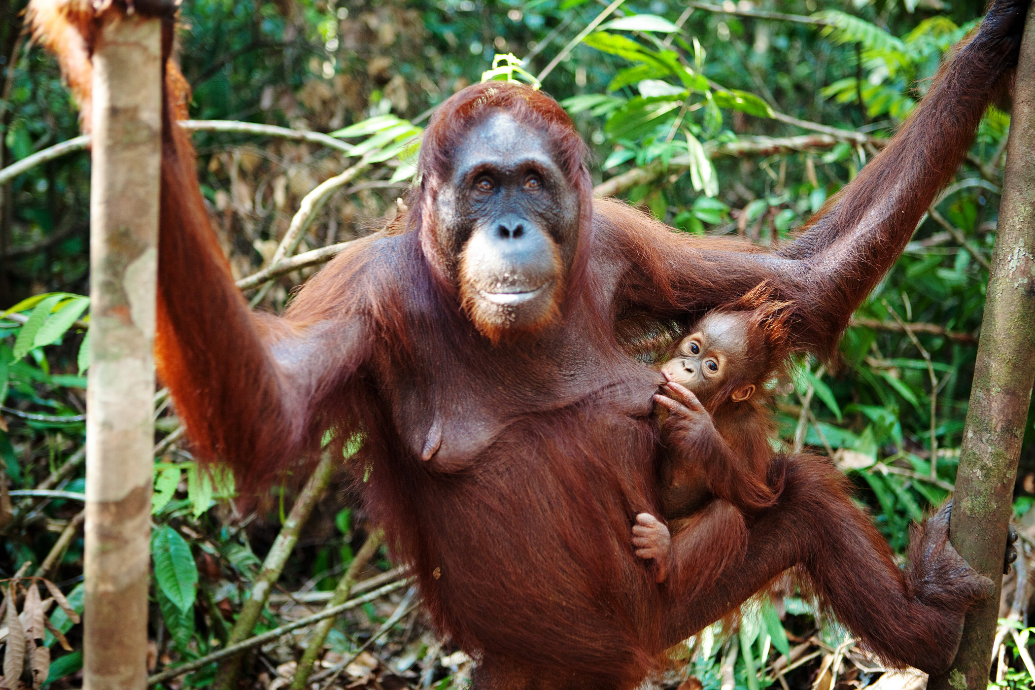 Mom and Baby Orangutans V