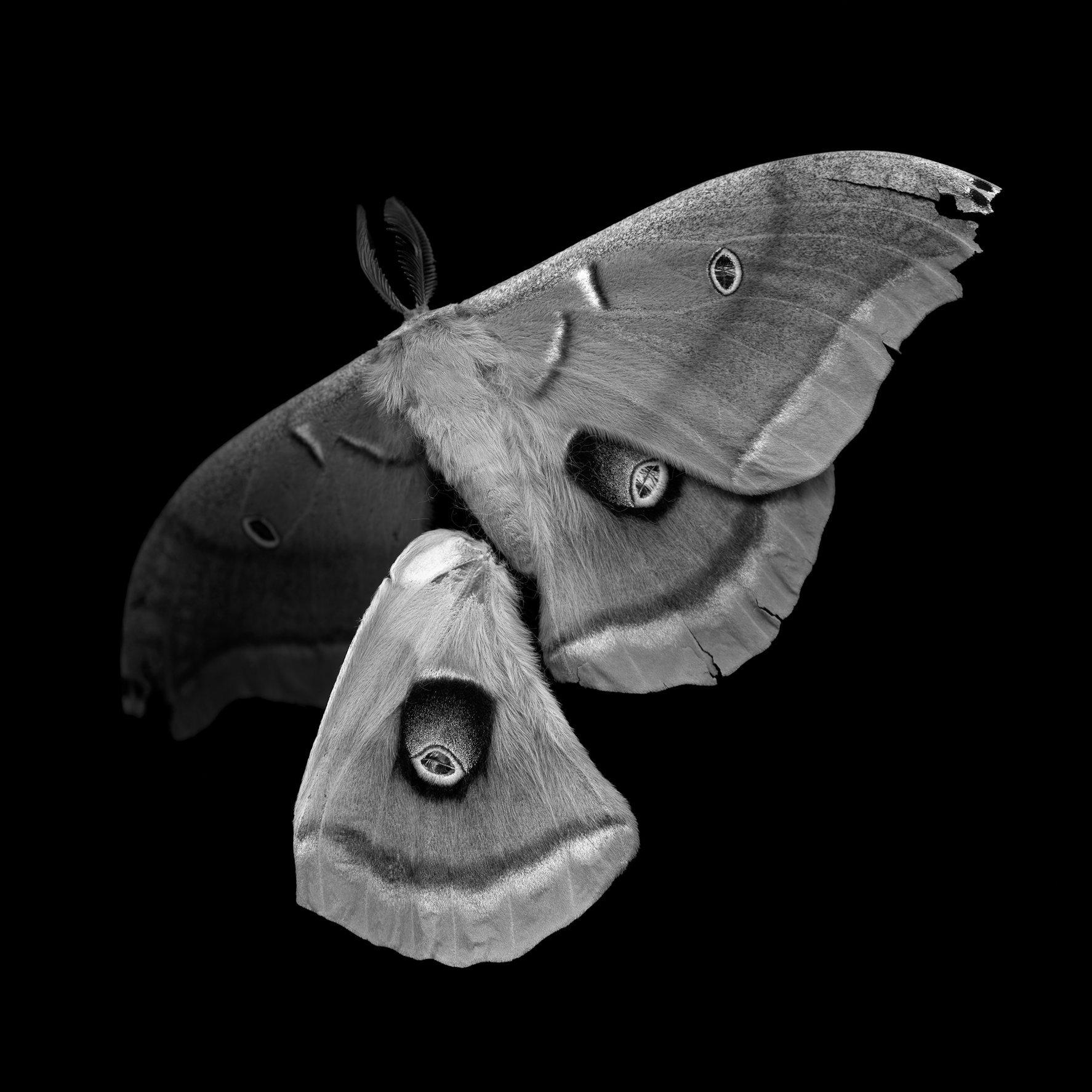 Antheraea polyphemus, 21st century