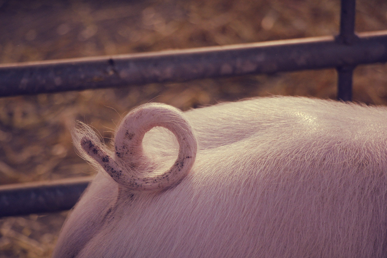 Fatstock Market Pig, Monmouthshire Livestock Centre