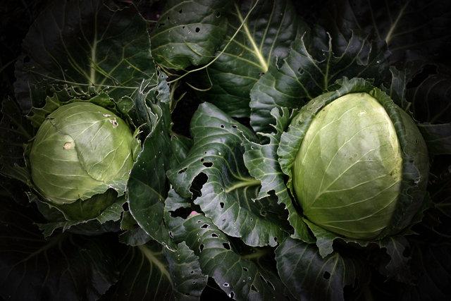 cabbage0912.jpg