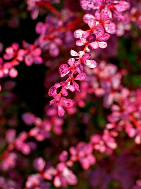 0056_Pink Leaves.tif