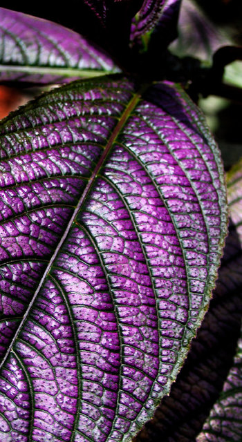 0128_Purple Leaves 1.JPG