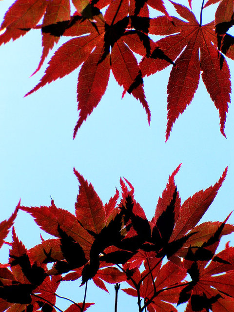 0146_Red Leaves 3.JPG