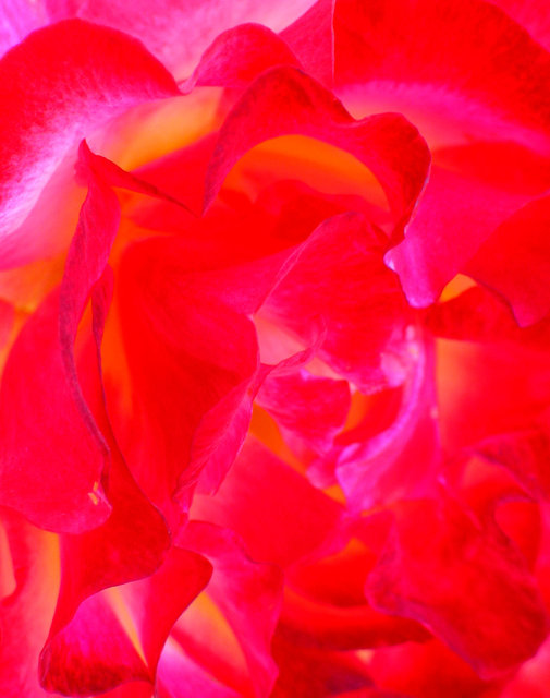 0058_Pink Red Rose 2.tif