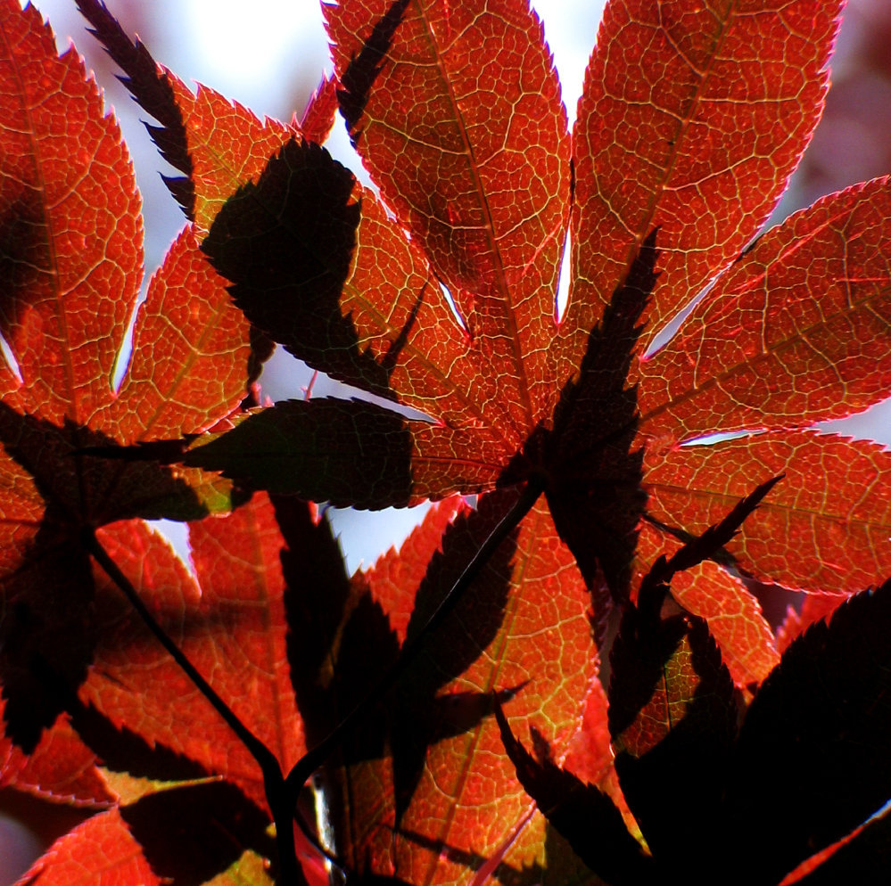 0148_Red Leaves 5.IMG_4183.JPG