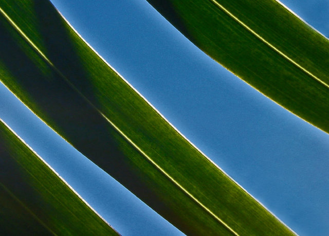 0075_Green stripe leaves Blue sky.JPG