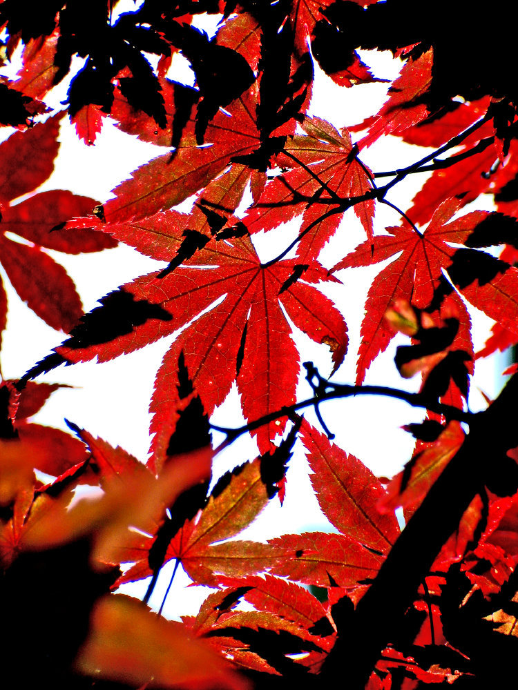 0145_Red Leaves 2.JPG