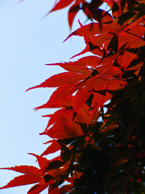 0147_Red Leaves 4.JPG