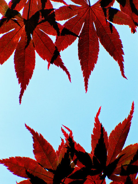 0143_Red Leaves 1 More Blue.JPG