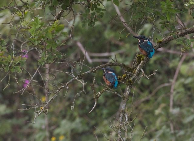 Newly fledged kingfishers