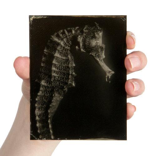 Hippocampus #37