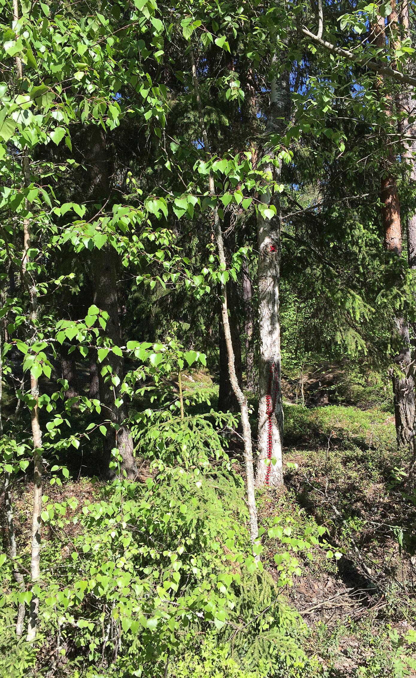 Mended birch