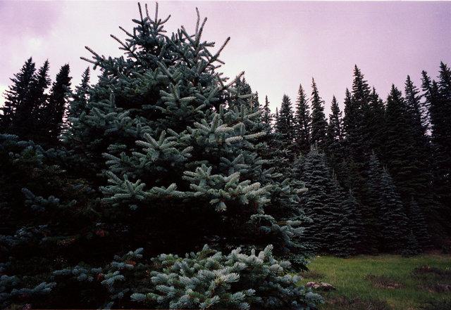 pine set.tif