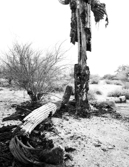 Saguaro Bacterial Necrosis. Superstition Mountains (online) edit.tif