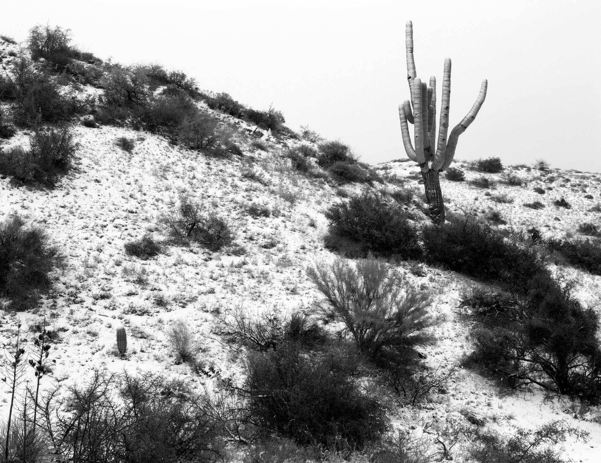 Saguaro during snow - web.tif
