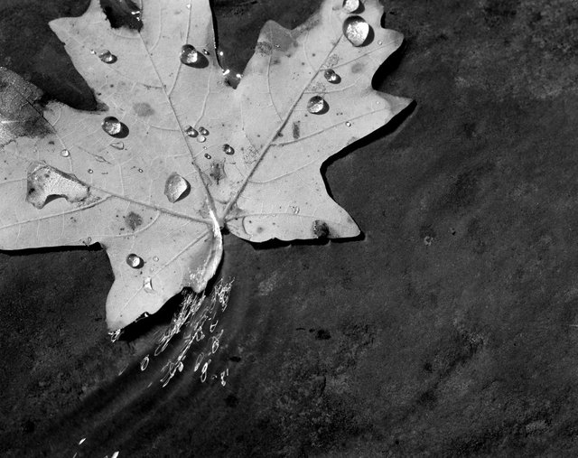 Maple Leaf First Edition Jpeg.tif