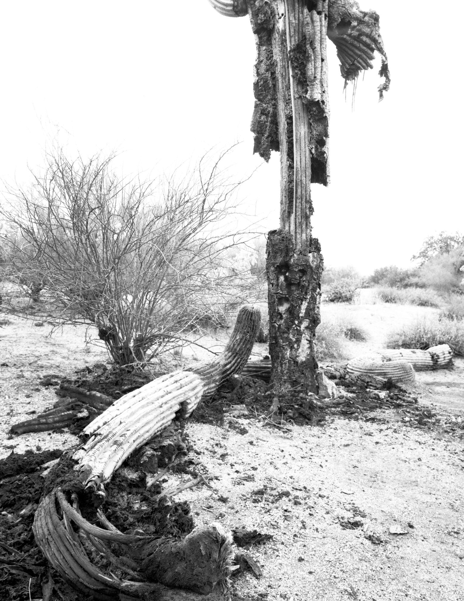 Saguaro Bacterial Necrosis. Superstition Mountains (online).tif