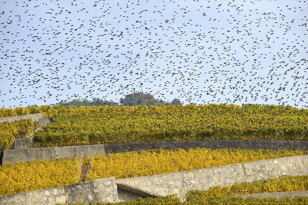 Oiseaux - Lavaux - 2008