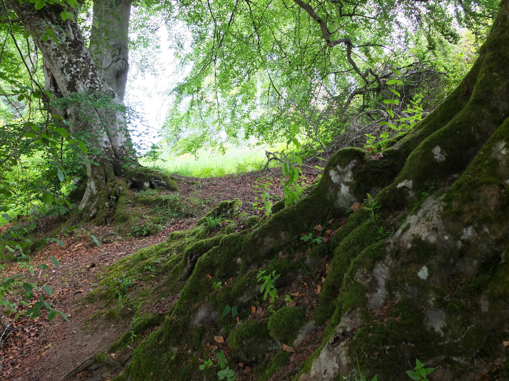 Deep in the Beech Tree Woods by Alison Gracie (2017)