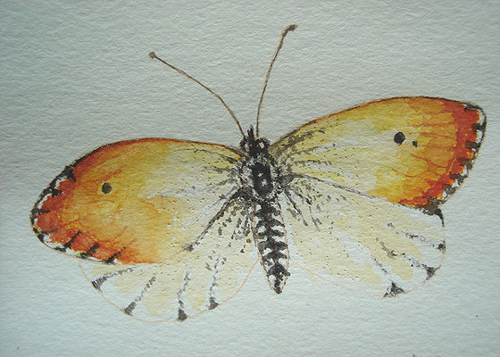 Orange Tip Butterfly by Alison Gracie