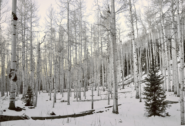 Aspen Forest, Winter