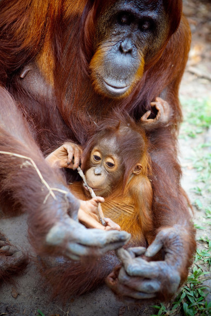 Mom and Baby Orangutans VI