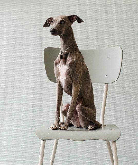 Kiki Groot Hond op stoel, 2016