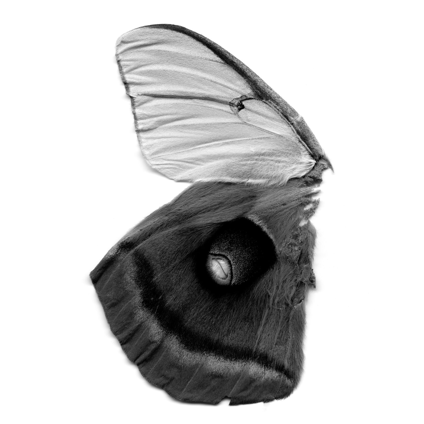 Moth Wings (female luna, male polyphemus), 21st century