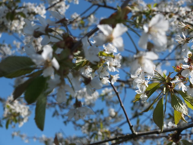 White Blossom 9 by Alison Gracie