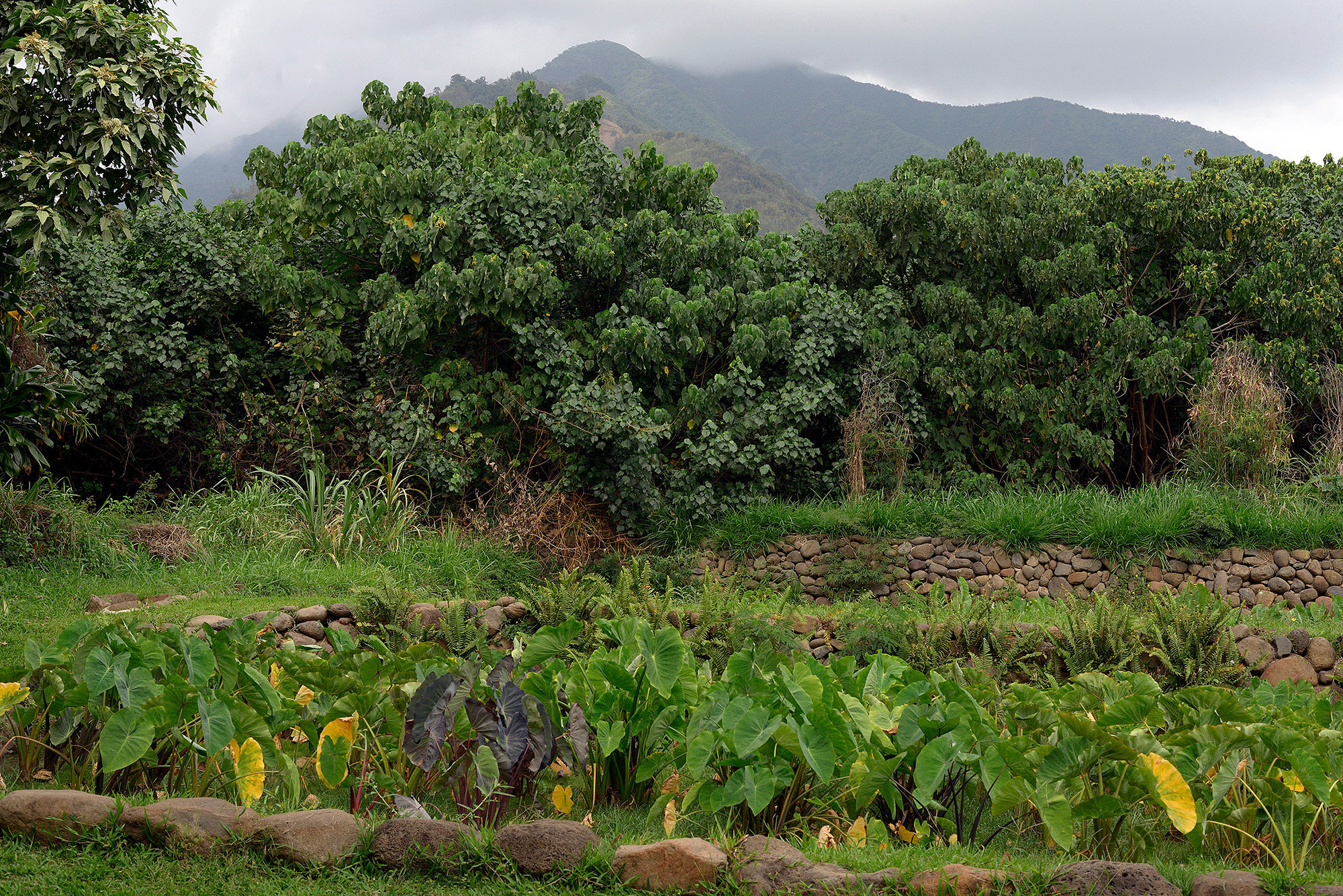 Traditional Taro farm, Maui