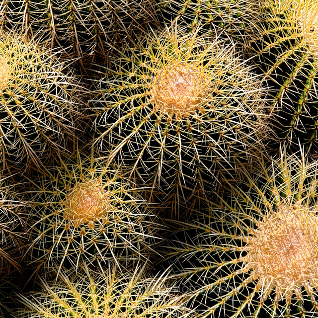 Barrel_cactus_8x8.jpg
